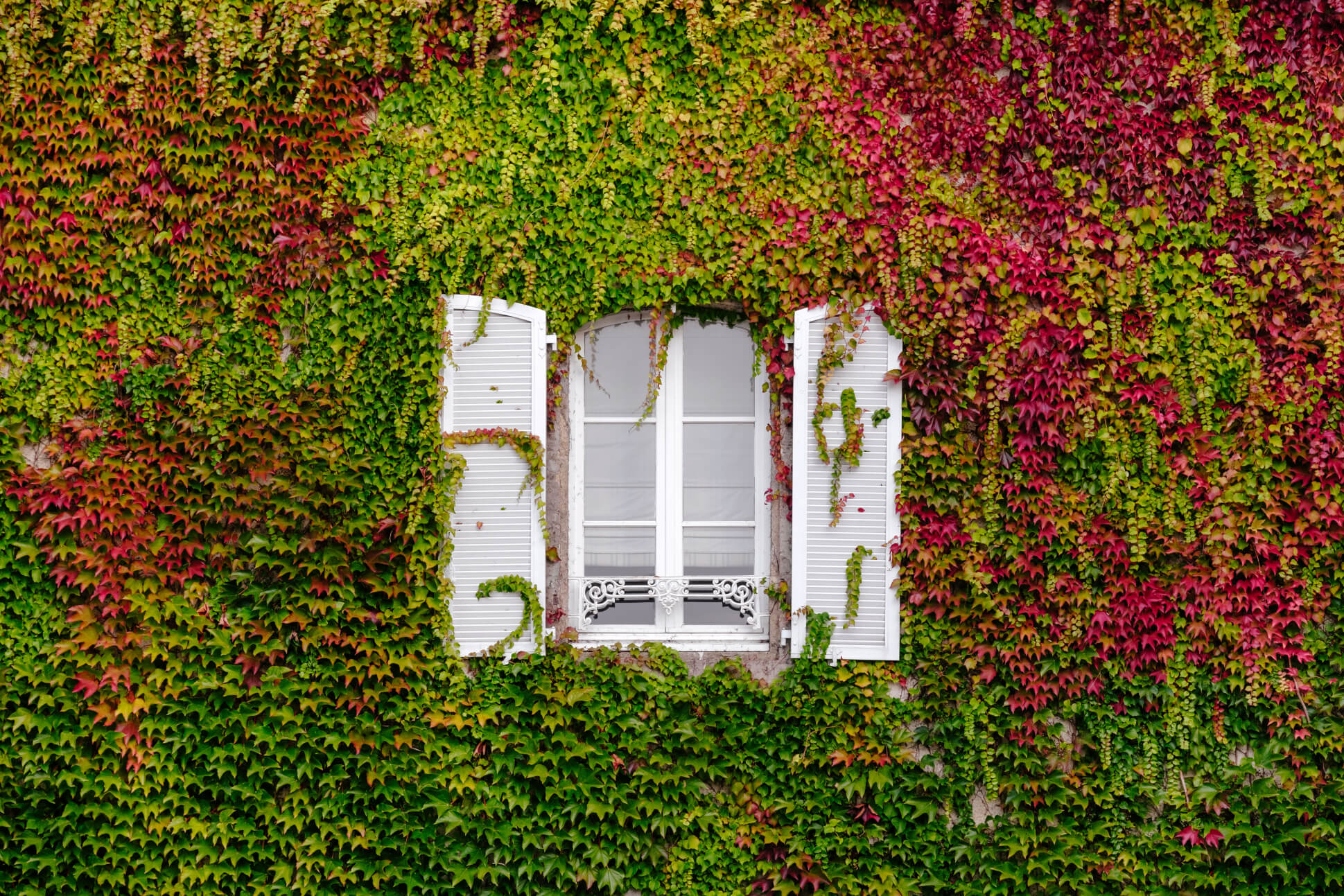 A white window on an ivy covered wall